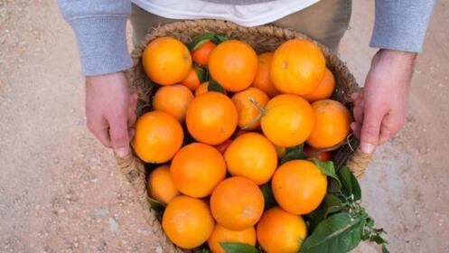 Naranjas valencianas del rbol a tu casa descuento 32 - Naranjas del arbol a la mesa ...