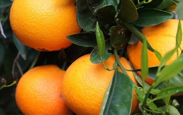 10kg de naranjas del árbol a tu casa